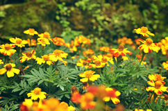 Franse goudsbloemen & x28; Tagetes patula& x29; bloemachtergrond Stock Fotografie