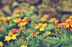 Franse goudsbloemen & x28; Tagetes patula& x29; bloemachtergrond Royalty-vrije Stock Fotografie