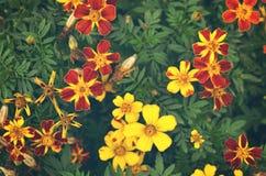 Franse goudsbloemen & x28; Tagetes patula& x29; bloemachtergrond Stock Afbeelding