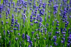 Franse lavendel Stock Afbeeldingen