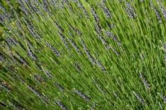 Franse lavendel Royalty-vrije Stock Foto's