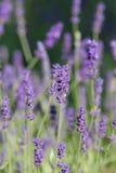 Franse lavendel stock foto