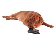 Franse mastif die op wit met een calculator wordt geïsoleerd¯ Stock Fotografie