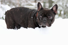 Franse stierenhond in sneeuw Royalty-vrije Stock Foto's