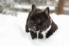 Franse stierenhond in sneeuw Royalty-vrije Stock Afbeelding