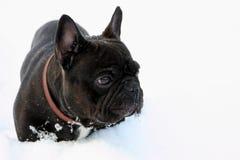 Franse stierenhond in sneeuw Stock Afbeeldingen