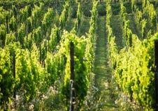 Franse Wijngaard Royalty-vrije Stock Foto's