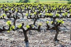 Franse wijngaard in Ardeche Stock Foto's
