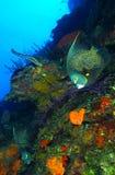Franse zeeëngel royalty-vrije stock foto's