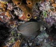 Franse Zeeëngel op Koraalrif Royalty-vrije Stock Afbeelding