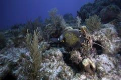 Franse Zeeëngel op Koraalrif Stock Fotografie