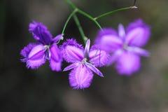 Fransenlilien-Blumenzusammenfassung Stockbilder