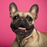 Fransk bulldogg, 18 gammala månader Arkivfoto