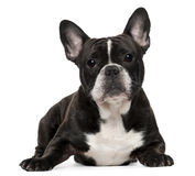 Fransk bulldogg, 18 gammala som månader ligger Arkivbilder