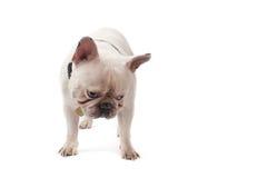 Fransk bulldogg Royaltyfri Bild