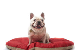 Fransk bulldogg Royaltyfri Fotografi
