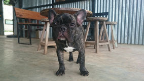 Fransk bulldogg royaltyfria bilder