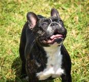 Fransk bulldogg Fotografering för Bildbyråer