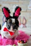 Fransk bulldogg easter Royaltyfri Bild