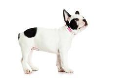 Fransk bulldogg för hund som isoleras på vit bakgrund Royaltyfri Foto