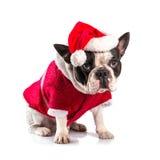 Fransk bulldogg i den santa dräkten för jul Arkivfoto