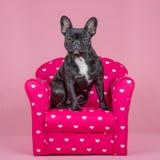Fransk bulldogg i en stol Royaltyfri Fotografi