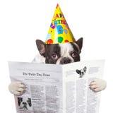 Fransk bulldogg i läs- tidning för födelsedaghatt Royaltyfri Fotografi