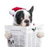 Fransk bulldogg i läs- tidning för santa hatt Arkivfoton