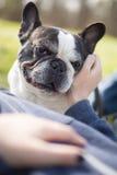 Fransk bulldogg i parkera med en flicka - smekning royaltyfria foton