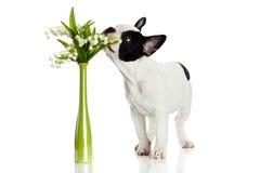 Fransk bulldogg med blommor som isoleras på vit bakgrund Fotografering för Bildbyråer