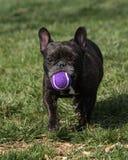 Fransk bulldogg med en boll på parkera Fotografering för Bildbyråer