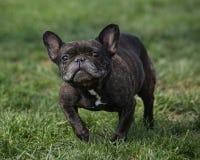 Fransk bulldogg med en enfaldig blick på hans framsida Arkivfoto