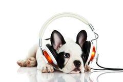 Fransk bulldogg med headphonen som isoleras på den vita bakgrundshundhörlurar med mikrofon Royaltyfri Bild