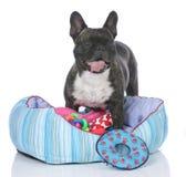 Fransk bulldogg med hundsäng och massor av leksaker Fotografering för Bildbyråer