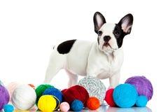 Fransk bulldogg med threadballs som isoleras på vit bakgrund Royaltyfri Bild