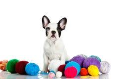 Fransk bulldogg med threadballs som isoleras på vit bakgrund Arkivfoto