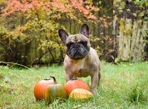 Fransk bulldogg och pumpa arkivfoton