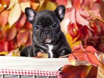 Fransk bulldogg och rönnbär Fotografering för Bildbyråer