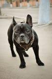 Fransk bulldogg på gatan Royaltyfri Bild