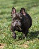 Fransk bulldogg på parkera Arkivbild