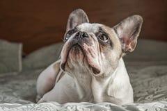 Fransk bulldogg på säng Royaltyfri Foto