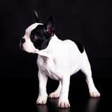 Fransk bulldogg på svart bakgrundsdjur Royaltyfria Bilder