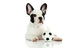 Fransk bulldogg på vit bakgrundsfotboll Arkivbilder