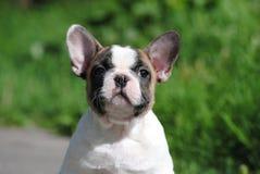 Fransk bulldogg p? gatan arkivfoton