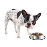Fransk bulldogg som äter hundmat Arkivbild