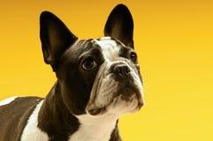 Fransk bulldogg som bort ser royaltyfria foton