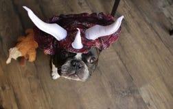 Fransk bulldogg som en Stegosaurus royaltyfri bild