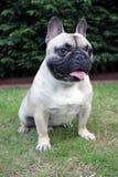 Fransk bulldogg som från sidan vänder mot royaltyfri foto