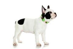 Fransk bulldogg som isoleras på det vita bakgrundsdjuret Arkivfoto