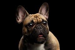 Fransk bulldogg som isoleras på svart royaltyfri fotografi